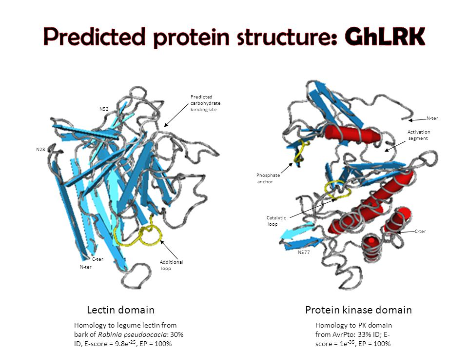 Predicted carbohydrate binding site Additional loop N-ter N28 N52 C-ter Activation segment C-ter N-ter N577 Catalytic loop Phosphate anchor Lectin domainProtein kinase domain Homology to legume lectin from bark of Robinia pseudoacacia: 30% ID, E-score = 9.8e -25, EP = 100% Homology to PK domain from AvrPto: 33% ID; E- score = 1e -35, EP = 100%