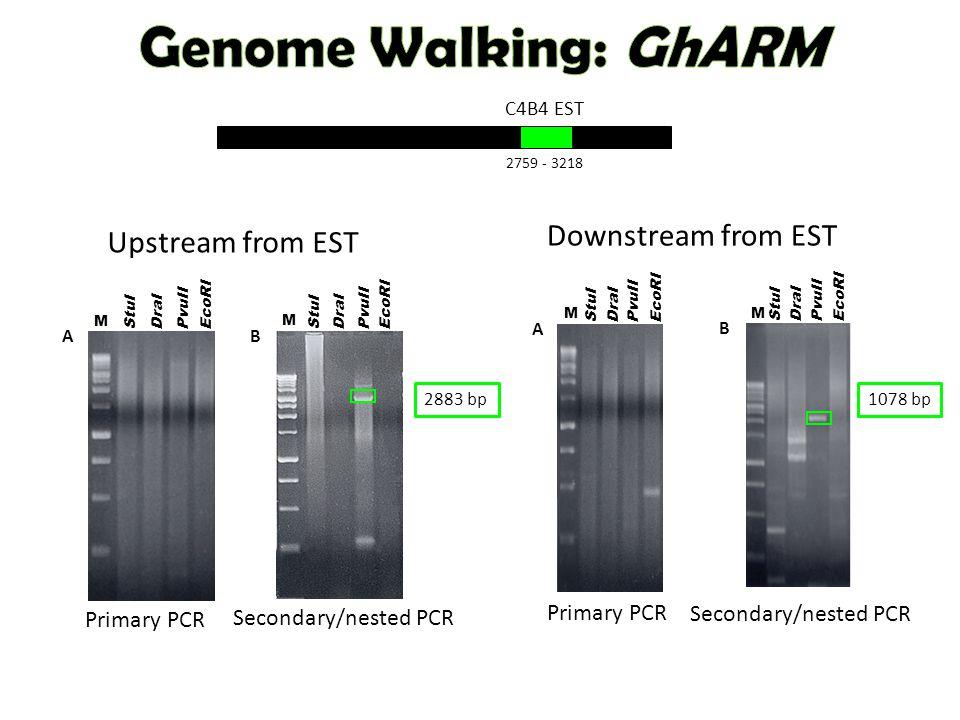 C4B4 EST 2759 - 3218 StuI DraI EcoRI PvuII M B StuI DraI EcoRI PvuII M A Secondary/nested PCR Primary PCR Downstream from EST 1078 bp B StuI DraI EcoRI PvuII M A StuI DraI EcoRI PvuII M Secondary/nested PCR Primary PCR Upstream from EST 2883 bp