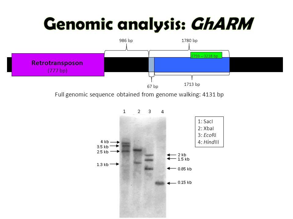 Retrotransposon (777 bp) 1: SacI 2: XbaI 3: EcoRI 4: HindIII 2759 – 3218 bp 1780 bp 1713 bp 67 bp 986 bp Full genomic sequence obtained from genome walking: 4131 bp