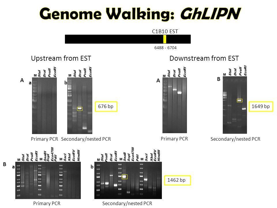 C1B10 EST 6488 - 6704 B a StuI DraI EcoRI PvuII M SnaBI SspI PdiI Eco47III M SacI XbaI HindIII EcoRV M b StuI SacI XbaI HindIII EcoRV M SspI PdiI M DraI EcoRI PvuII M Eco47III SnaB Secondary/nested PCRPrimary PCR 1462 bp B StuI DraI EcoRI PvuII M Secondary/nested PCR A StuI DraI EcoRI PvuII M Primary PCR Downstream from EST 1649 bp Upstream from EST StuI DraI EcoRI PvuII M StuI DraI EcoRI PvuII M a A b Primary PCRSecondary/nested PCR 676 bp