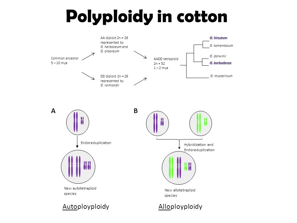 Polyploidy in cotton AADD tetraploid 2n = 52 1 – 2 mya G. darwinii G. mustelinum G. tomentosum AA diploid 2n = 26 represented by G. herbaceum and G. a