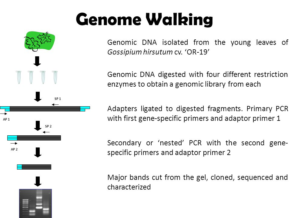 Genome Walking Genomic DNA digested with four different restriction enzymes to obtain a genomic library from each Genomic DNA isolated from the young leaves of Gossipium hirsutum cv.