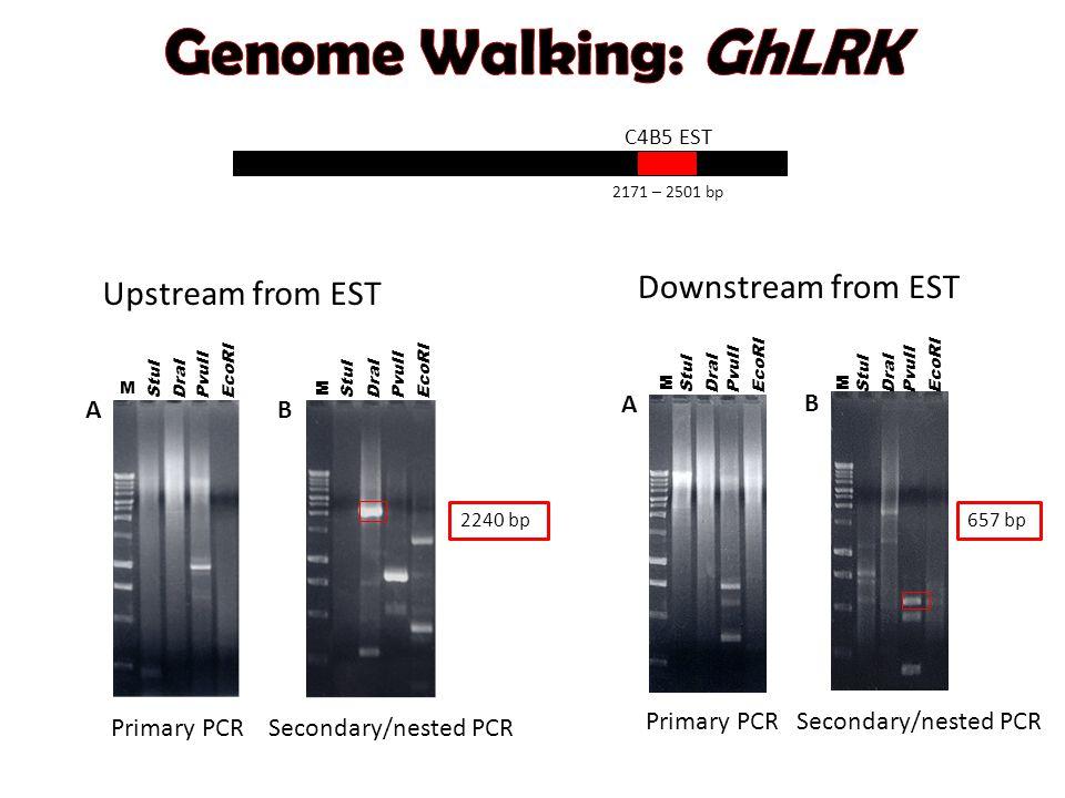 2171 – 2501 bp C4B5 EST A StuI DraI EcoRI PvuII M B StuI DraI EcoRI PvuII M Upstream from EST Primary PCRSecondary/nested PCR 2240 bp StuI DraI EcoRI PvuII M A B StuI DraI EcoRI PvuII M Downstream from EST Primary PCRSecondary/nested PCR 657 bp