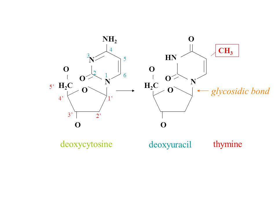 N N NH 2 O O H2CH2C O O N HN O O O H2CH2C O O deoxycytosine deoxyuracil 1' 2' 3' 4' 5' 1 2 3 4 5 6 CH 3 thymine glycosidic bond