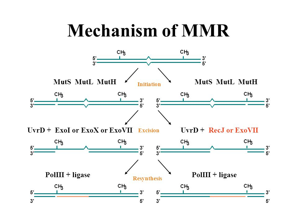 Mechanism of MMR CH 3 3 5 3 5 3 Initiation CH 3 3 5 3 5 3 CH 3 3 5 3 5 3 MutS MutL MutH Excision CH 3 3 5 3 5 3 CH 3 3 5 3 5 3 UvrD + RecJ or ExoVIIUvrD + ExoI or ExoX or ExoVII Resynthesis CH 3 3 5 3 5 3 CH 3 3 5 3 5 3 PolIII + ligase