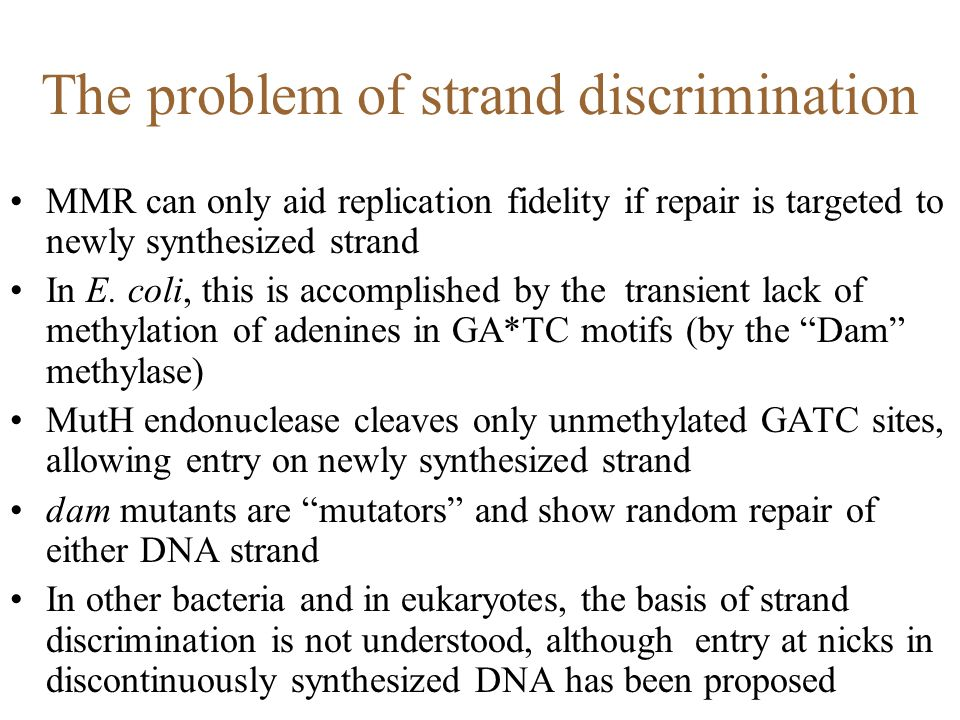 The problem of strand discrimination MMR can only aid replication fidelity if repair is targeted to newly synthesized strand In E. coli, this is accom