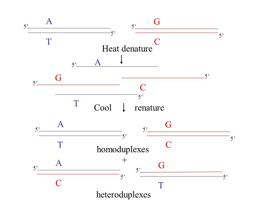 A T G C A T C G 5' Heat denature A T G C 5' A C T G Cool renature homoduplexes + heteroduplexes