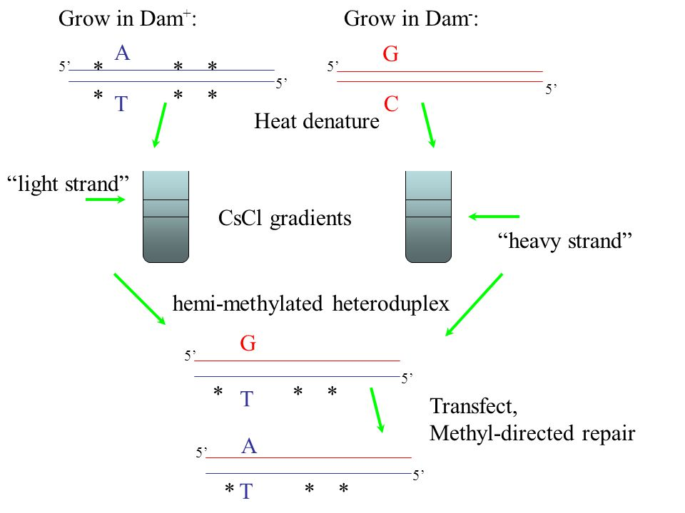 A T G C Heat denature CsCl gradients T 5' G heavy strand light strand hemi-methylated heteroduplex Grow in Dam + :Grow in Dam - : * * * Transfect, Methyl-directed repair 5' * * * A T