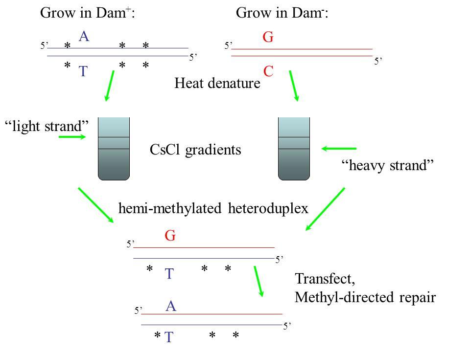 "A T G C Heat denature CsCl gradients T 5' G ""heavy strand"" ""light strand"" hemi-methylated heteroduplex Grow in Dam + :Grow in Dam - : * * * Transfect,"