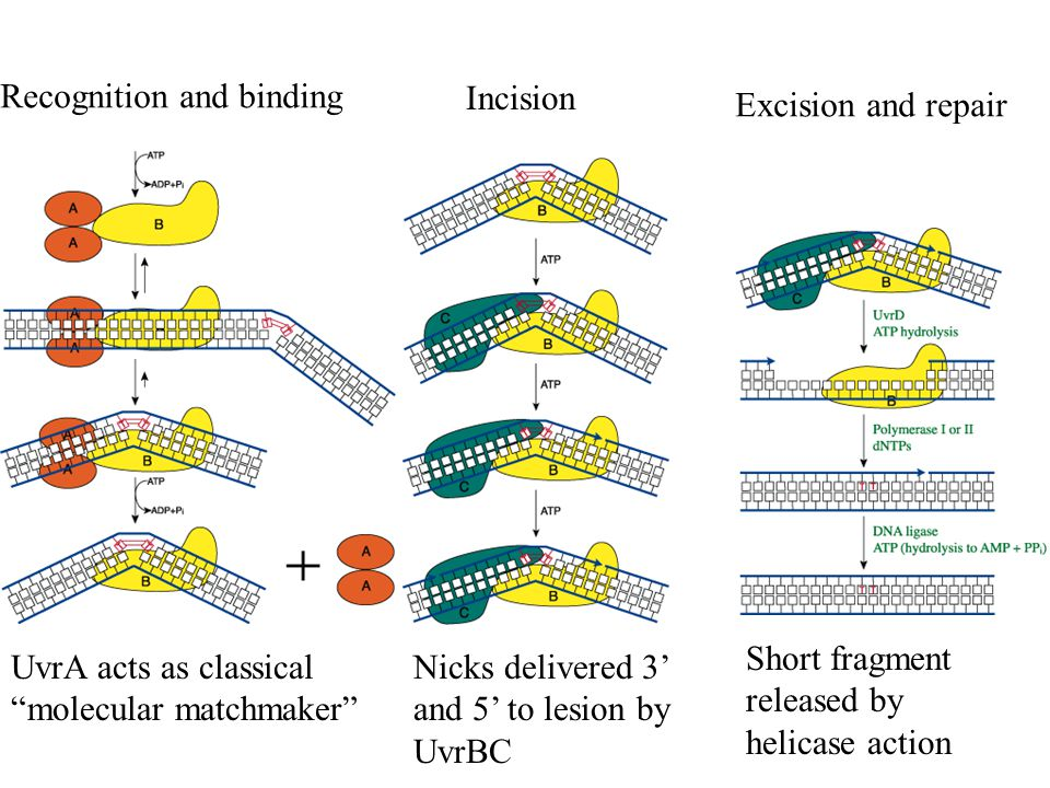 Recognition and binding UvrA acts as classical molecular matchmaker Incision Nicks delivered 3' and 5' to lesion by UvrBC Excision and repair Short fragment released by helicase action