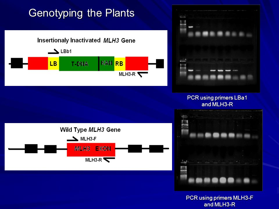 PCR using primers LBa1 and MLH3-R PCR using primers MLH3-F and MLH3-R Genotyping the Plants