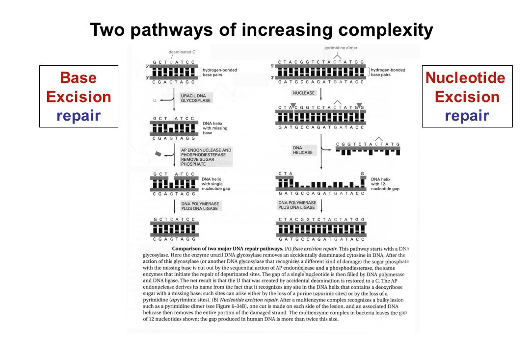 Two pathways of increasing complexity Base Excision repair Nucleotide Excision repair