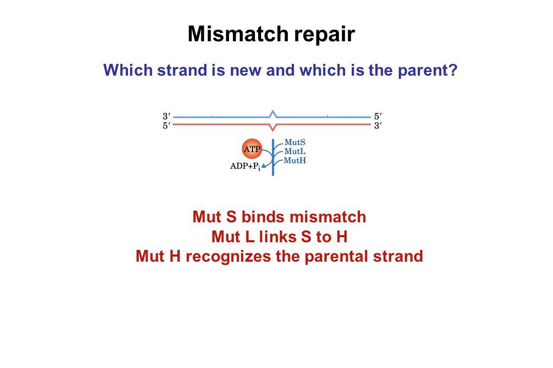 Mismatch repair Mut S binds mismatch Mut L links S to H Mut H recognizes the parental strand Which strand is new and which is the parent?
