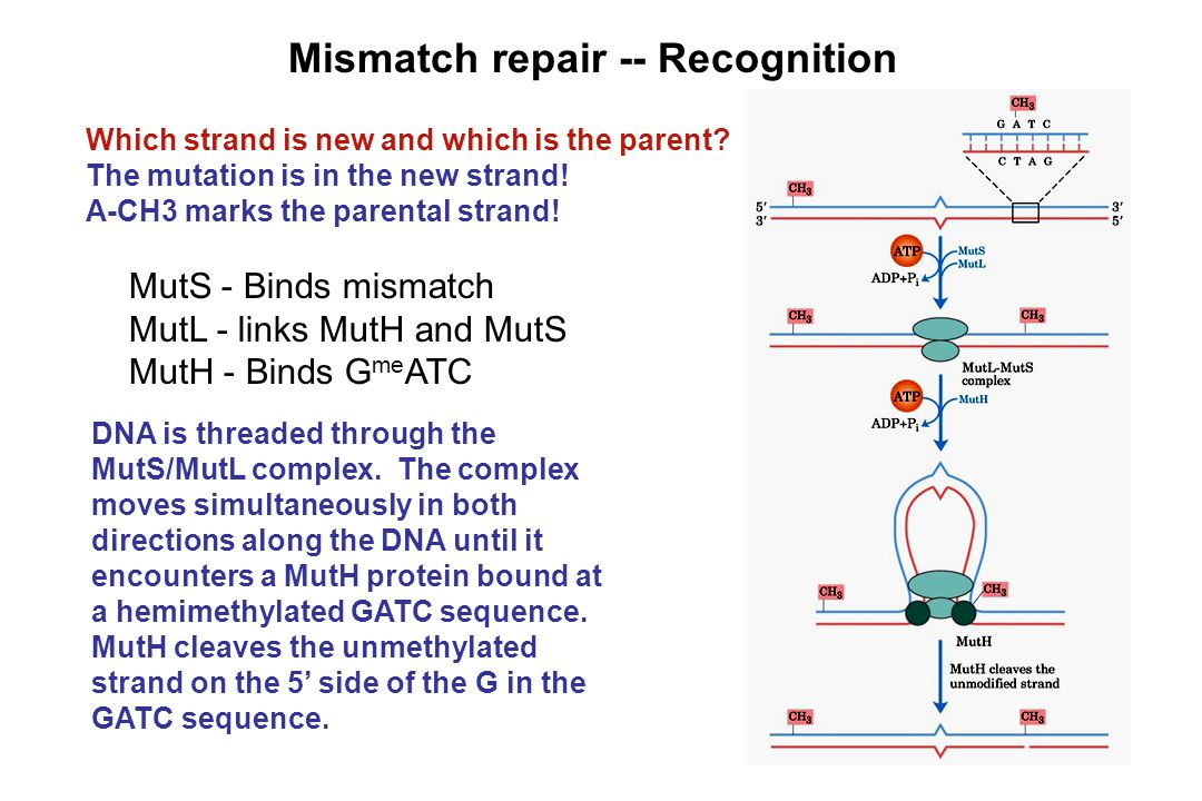 Mismatch repair -- Recognition Which strand is new and which is the parent? The mutation is in the new strand! A-CH3 marks the parental strand! MutS -