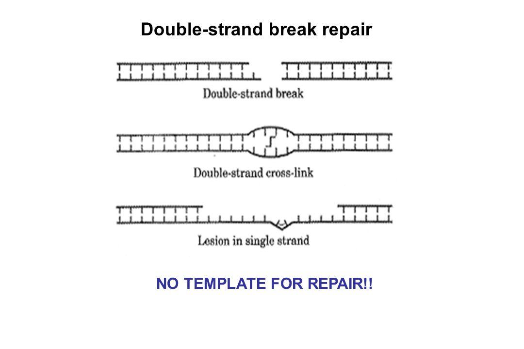 Double-strand break repair NO TEMPLATE FOR REPAIR!!