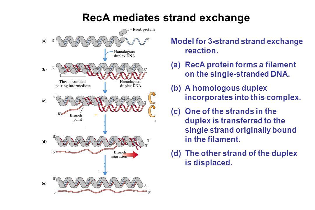 RecA mediates strand exchange Model for 3-strand strand exchange reaction. (a)RecA protein forms a filament on the single-stranded DNA. (b)A homologou