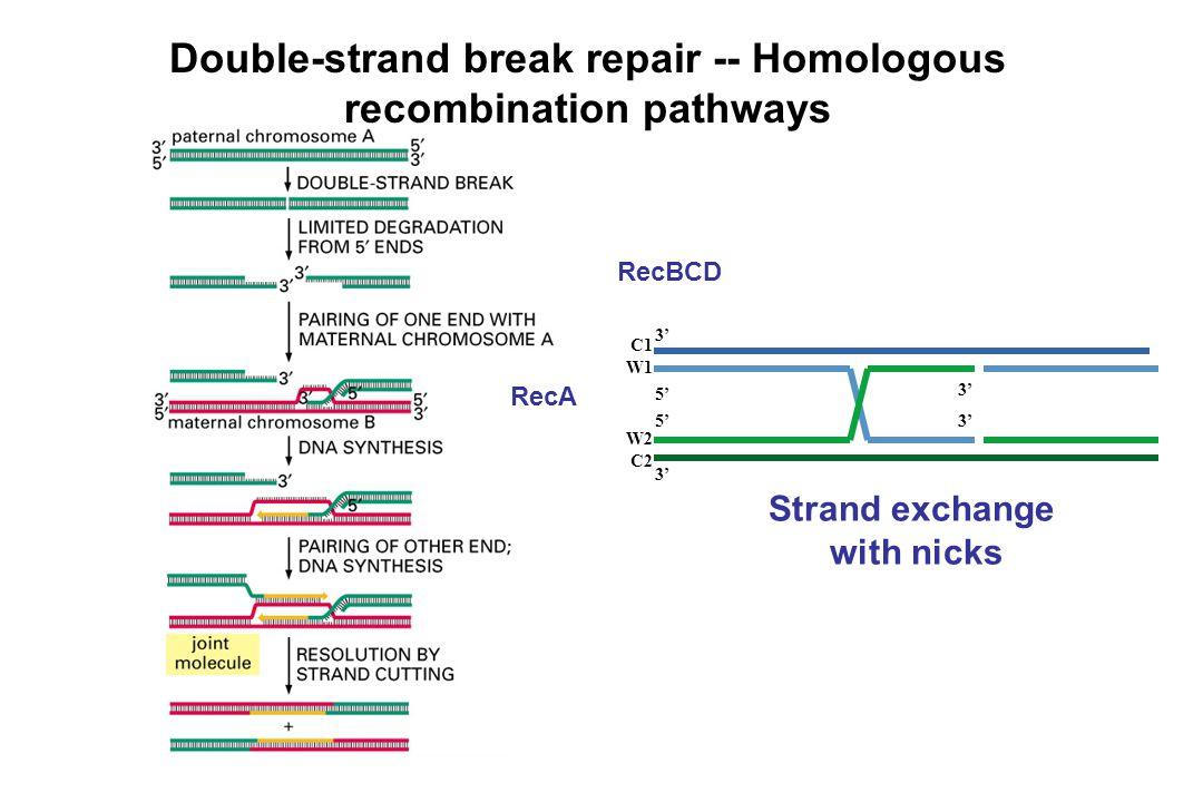 Double-strand break repair -- Homologous recombination pathways RecBCD RecA C1 W1 W2 C2 3' 5' 3'5' 3' Strand exchange with nicks