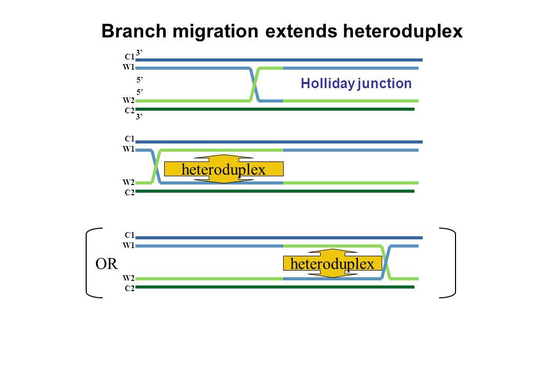 Branch migration extends heteroduplex Holliday junction C1 W1 W2 C2 5' 3' C1 W1 W2 C2 C1 W1 W2 C2 OR heteroduplex