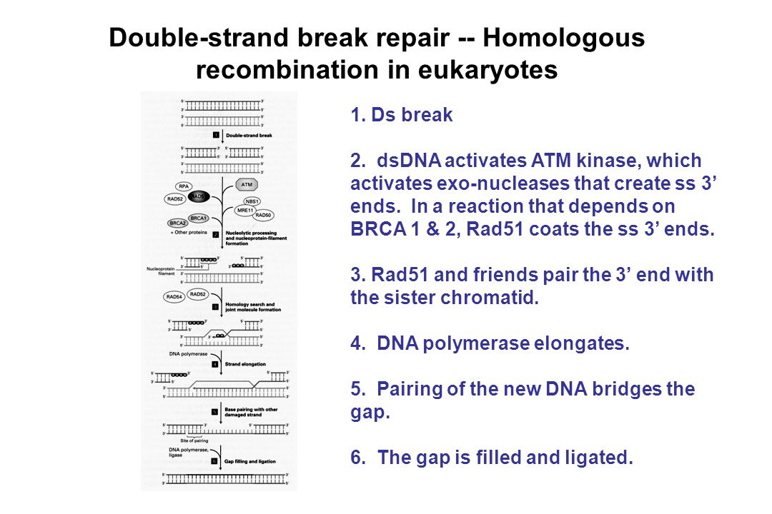 Double-strand break repair -- Homologous recombination in eukaryotes 1. Ds break 2. dsDNA activates ATM kinase, which activates exo-nucleases that cre
