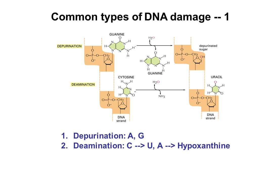 Common types of DNA damage -- 1 1.Depurination: A, G 2.Deamination: C --> U, A --> Hypoxanthine