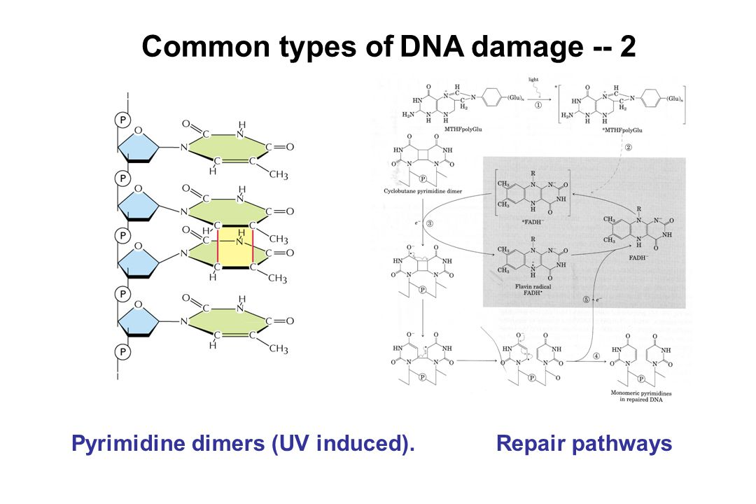 Common types of DNA damage -- 2 Pyrimidine dimers (UV induced). Repair pathways