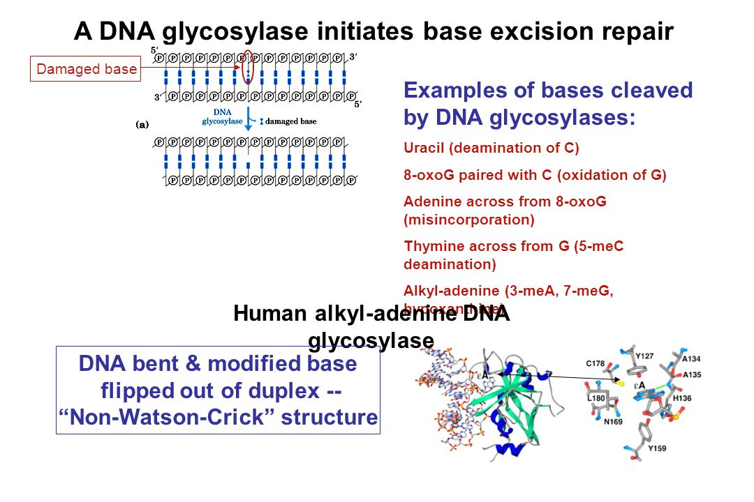A DNA glycosylase initiates base excision repair Examples of bases cleaved by DNA glycosylases: Uracil (deamination of C) 8-oxoG paired with C (oxidat
