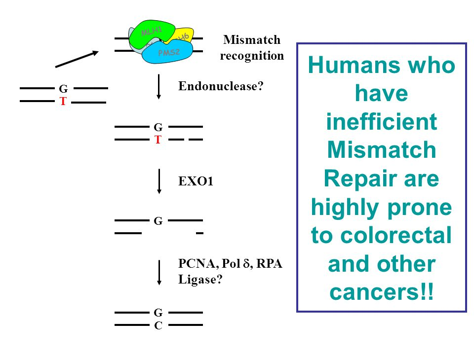 Humans who have inefficient Mismatch Repair are highly prone to colorectal and other cancers!! G C G T G Mismatch recognition MSH2 MSH6 MLH1 PMS2 Endo