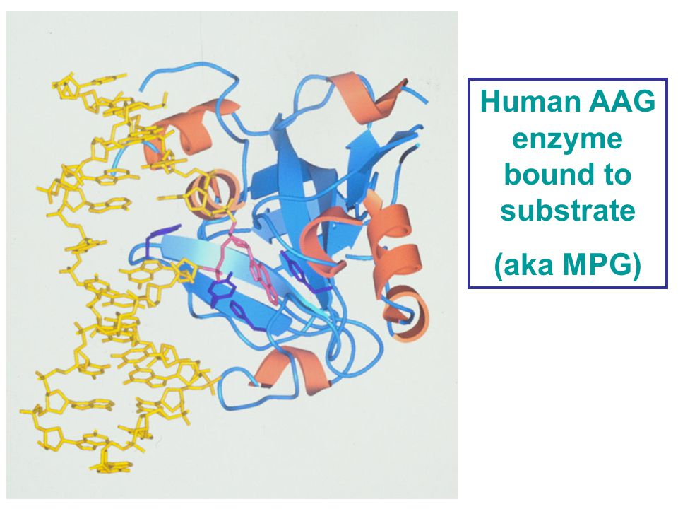 Human AAG enzyme bound to substrate (aka MPG)
