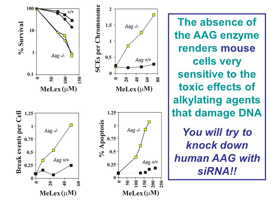 The absence of the AAG enzyme renders mouse cells very sensitive to the toxic effects of alkylating agents that damage DNA You will try to knock down human AAG with siRNA!!
