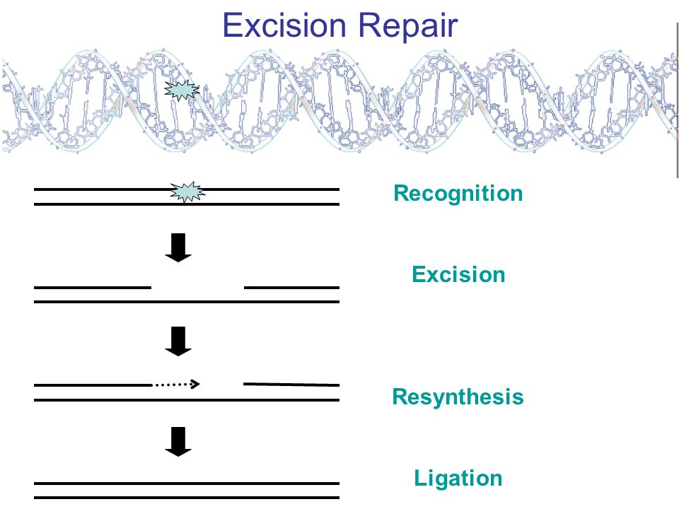 DNA Repair Strategies Direct Reversal Photolyase, Methyltransferase, Oxidative demethylase Excision Repair Base excision, nucleotide excision, transcription coupled excision repair, mismatch repair Lesion Avoidance Translesion synthesis, DNA recombination Double strand break repair Homologous recombination, Non-homologous end joining