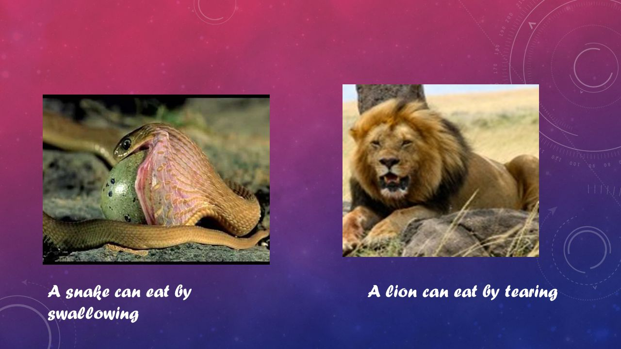 A snake can eat by swallowing A lion can eat by tearing