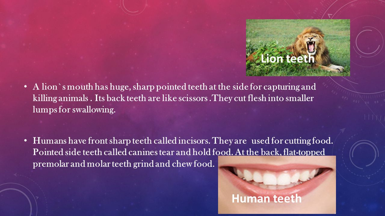 A lion`s mouth has huge, sharp pointed teeth at the side for capturing and killing animals.