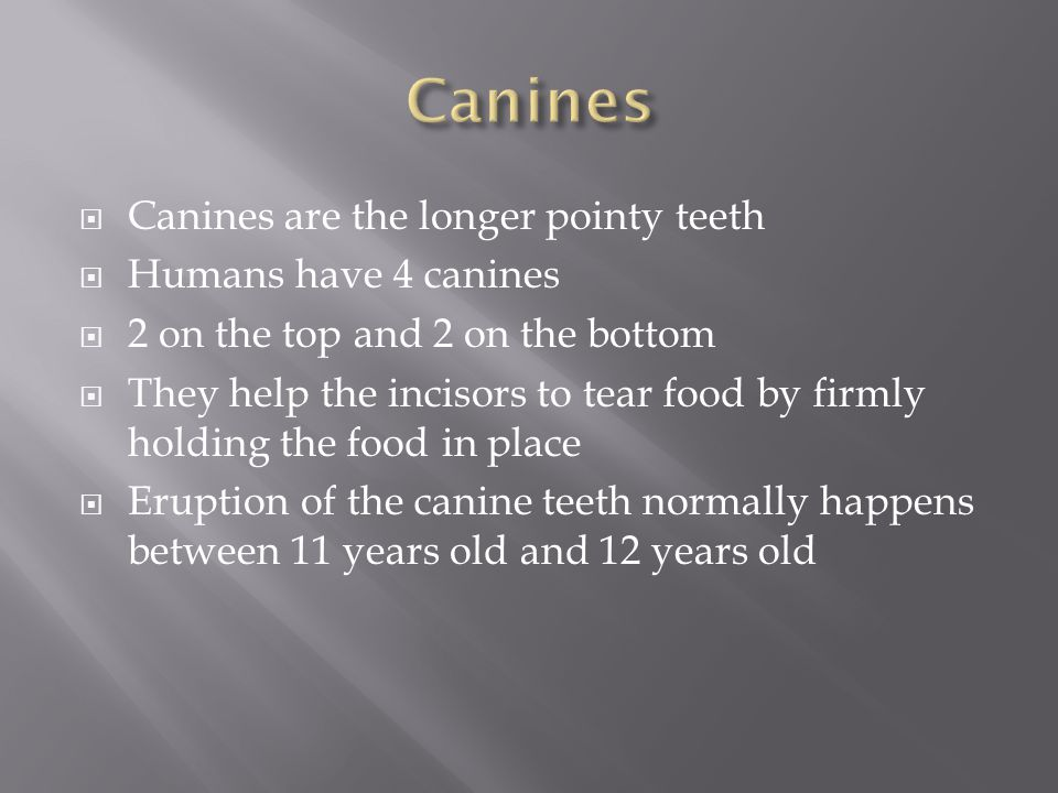  Canines are the longer pointy teeth  Humans have 4 canines  2 on the top and 2 on the bottom  They help the incisors to tear food by firmly holding the food in place  Eruption of the canine teeth normally happens between 11 years old and 12 years old