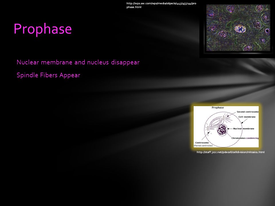 Nuclear membrane and nucleus disappear Spindle Fibers Appear Prophase   phase.html