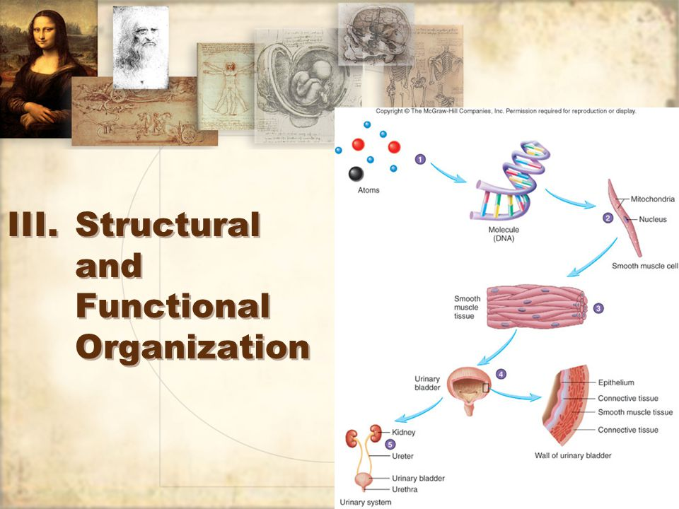 11 III.Structural and Functional Organization