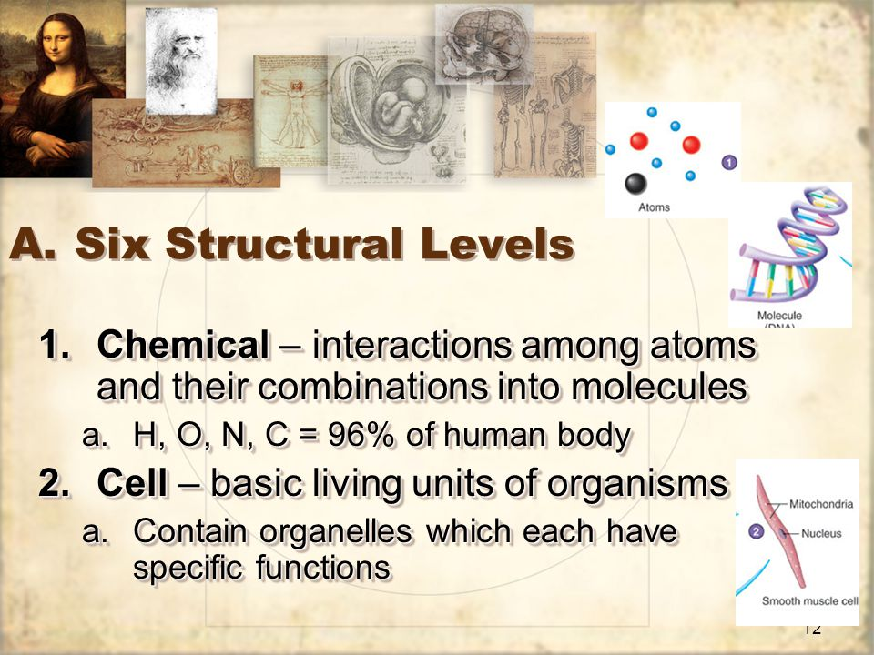 12 A.Six Structural Levels 1.Chemical – interactions among atoms and their combinations into molecules a.H, O, N, C = 96% of human body 2.Cell – basic living units of organisms a.Contain organelles which each have specific functions 1.Chemical – interactions among atoms and their combinations into molecules a.H, O, N, C = 96% of human body 2.Cell – basic living units of organisms a.Contain organelles which each have specific functions