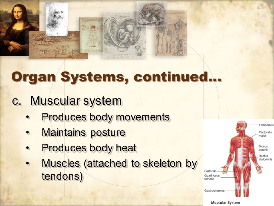 19 Organ Systems, continued… c.Muscular system Produces body movementsProduces body movements Maintains postureMaintains posture Produces body heatProduces body heat Muscles (attached to skeleton by tendons)Muscles (attached to skeleton by tendons) c.Muscular system Produces body movementsProduces body movements Maintains postureMaintains posture Produces body heatProduces body heat Muscles (attached to skeleton by tendons)Muscles (attached to skeleton by tendons)
