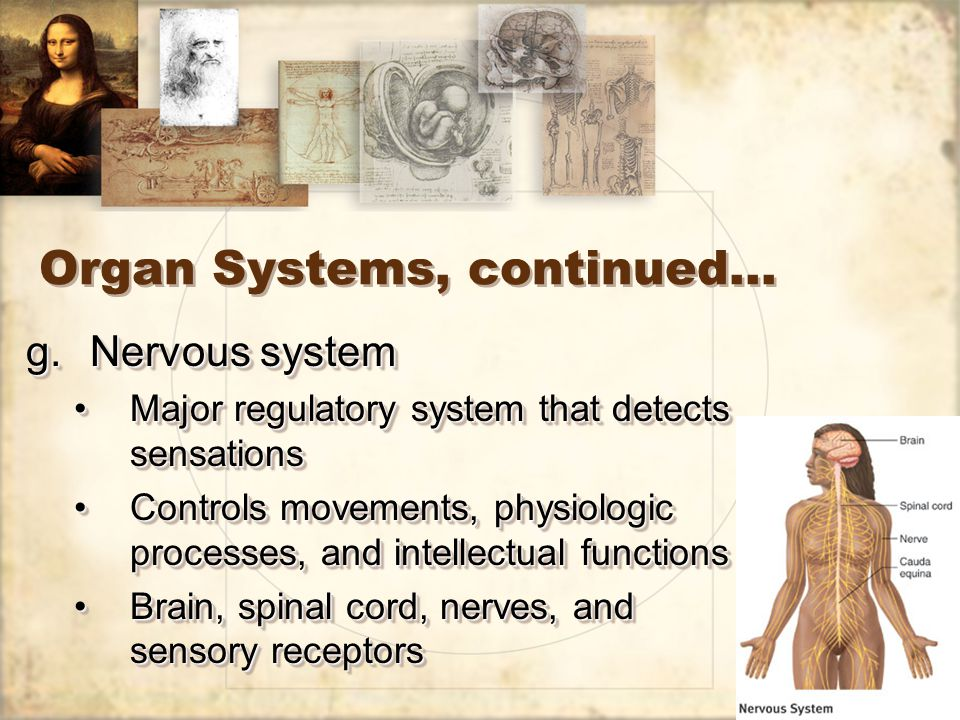 23 Organ Systems, continued… g.Nervous system Major regulatory system that detects sensationsMajor regulatory system that detects sensations Controls movements, physiologic processes, and intellectual functionsControls movements, physiologic processes, and intellectual functions Brain, spinal cord, nerves, and sensory receptorsBrain, spinal cord, nerves, and sensory receptors g.Nervous system Major regulatory system that detects sensationsMajor regulatory system that detects sensations Controls movements, physiologic processes, and intellectual functionsControls movements, physiologic processes, and intellectual functions Brain, spinal cord, nerves, and sensory receptorsBrain, spinal cord, nerves, and sensory receptors