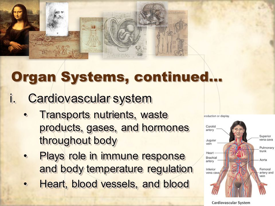 26 Organ Systems, continued… j.Urinary system Removes waste products from bloodRemoves waste products from blood Regulates blood pH, ion balance, and water balanceRegulates blood pH, ion balance, and water balance Kidneys, urinary bladder, and ducts that carry urineKidneys, urinary bladder, and ducts that carry urine j.Urinary system Removes waste products from bloodRemoves waste products from blood Regulates blood pH, ion balance, and water balanceRegulates blood pH, ion balance, and water balance Kidneys, urinary bladder, and ducts that carry urineKidneys, urinary bladder, and ducts that carry urine