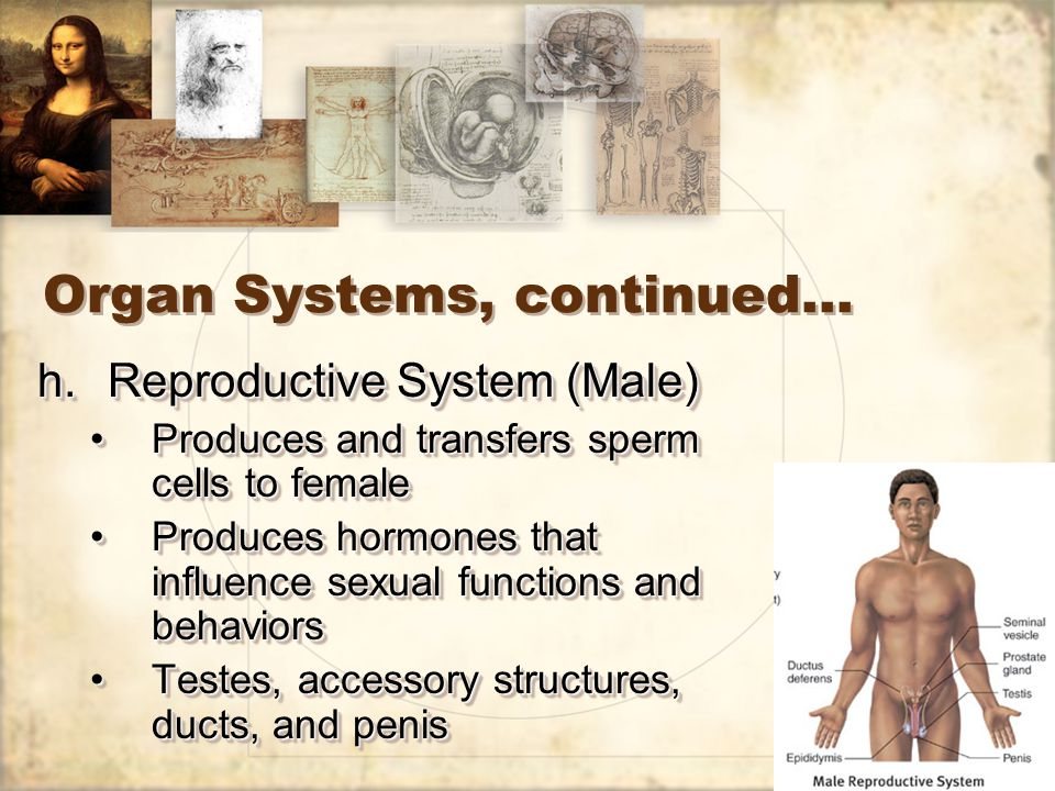 28 Organ Systems, continued… h.Reproductive System (Male) Produces and transfers sperm cells to femaleProduces and transfers sperm cells to female Produces hormones that influence sexual functions and behaviorsProduces hormones that influence sexual functions and behaviors Testes, accessory structures, ducts, and penisTestes, accessory structures, ducts, and penis h.Reproductive System (Male) Produces and transfers sperm cells to femaleProduces and transfers sperm cells to female Produces hormones that influence sexual functions and behaviorsProduces hormones that influence sexual functions and behaviors Testes, accessory structures, ducts, and penisTestes, accessory structures, ducts, and penis