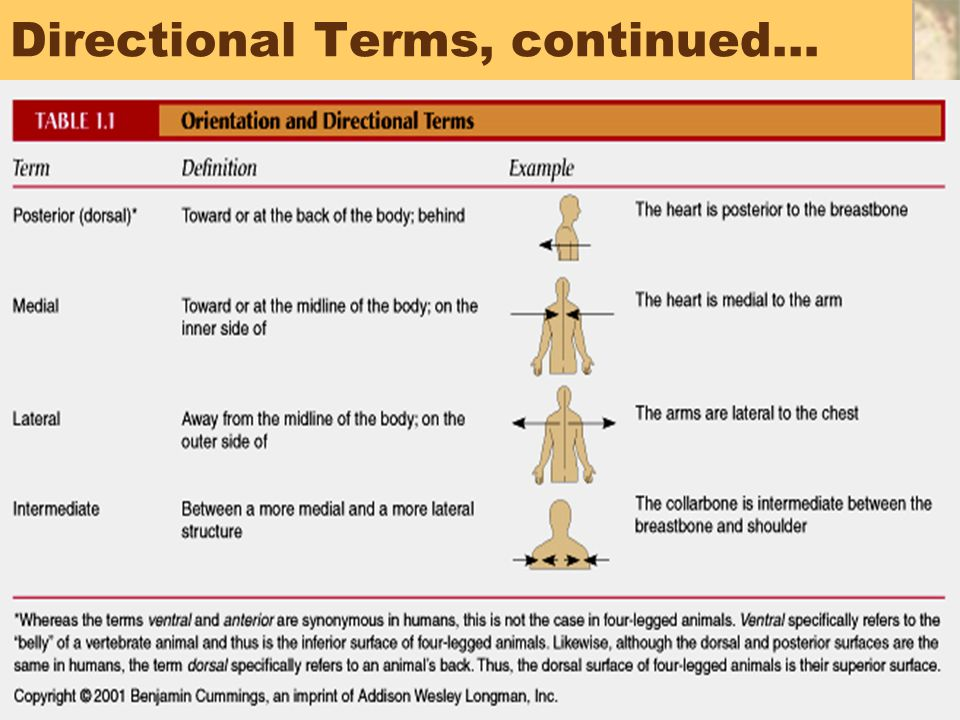 45 Directional Terms, continued…
