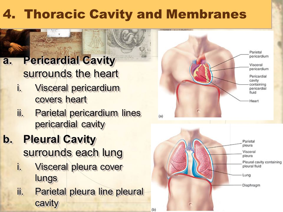 54 4.Thoracic Cavity and Membranes a.Pericardial Cavity surrounds the heart i.Visceral pericardium covers heart ii.Parietal pericardium lines pericardial cavity b.Pleural Cavity surrounds each lung i.Visceral pleura cover lungs ii.Parietal pleura line pleural cavity a.Pericardial Cavity surrounds the heart i.Visceral pericardium covers heart ii.Parietal pericardium lines pericardial cavity b.Pleural Cavity surrounds each lung i.Visceral pleura cover lungs ii.Parietal pleura line pleural cavity