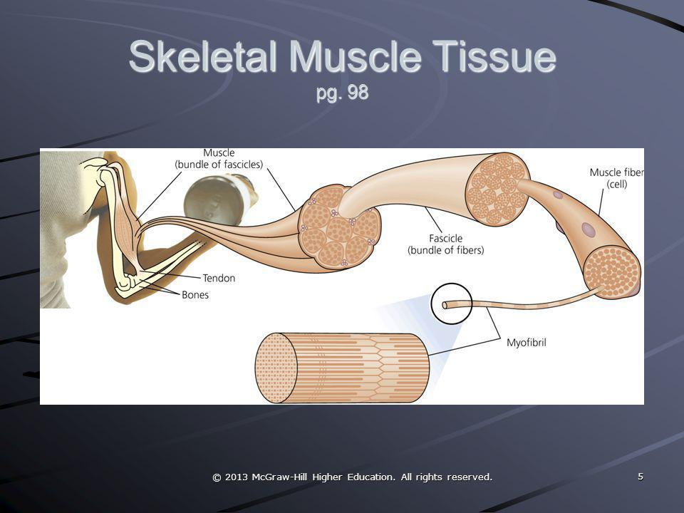 © 2013 McGraw-Hill Higher Education. All rights reserved. Skeletal Muscle Tissue pg. 98 5