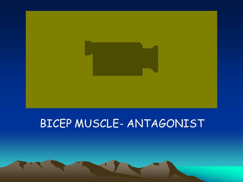 BICEP MUSCLE- ANTAGONIST