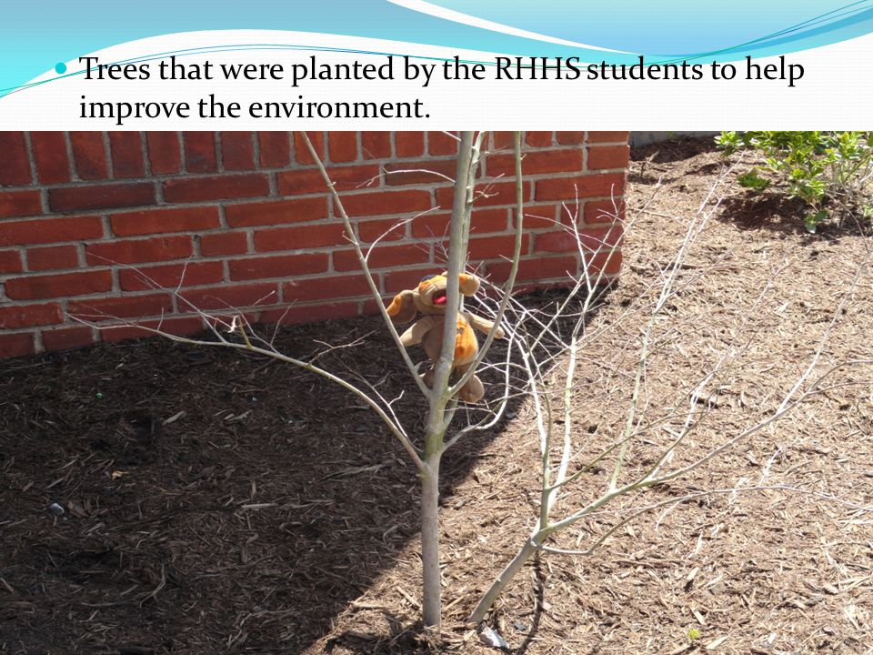 Trees that were planted by the RHHS students to help improve the environment.