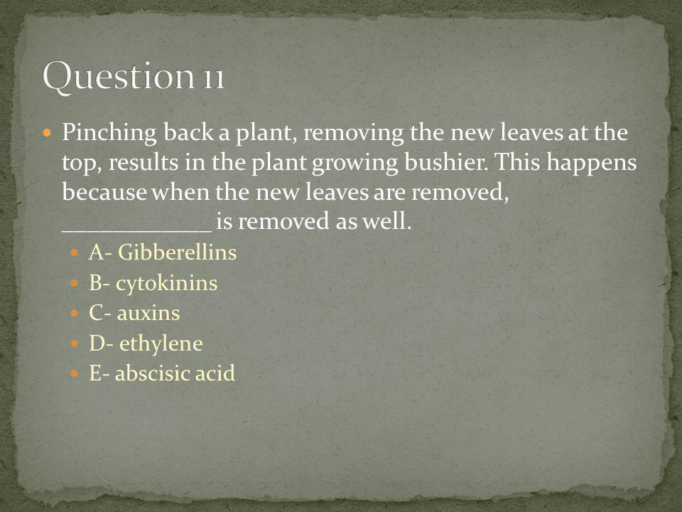 Pinching back a plant, removing the new leaves at the top, results in the plant growing bushier. This happens because when the new leaves are removed,