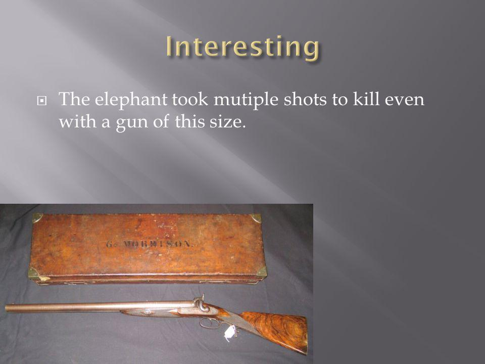  The elephant took mutiple shots to kill even with a gun of this size.