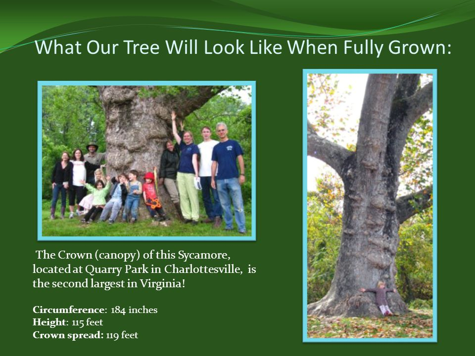 What Our Tree Will Look Like When Fully Grown: The Crown (canopy) of this Sycamore, located at Quarry Park in Charlottesville, is the second largest in Virginia.