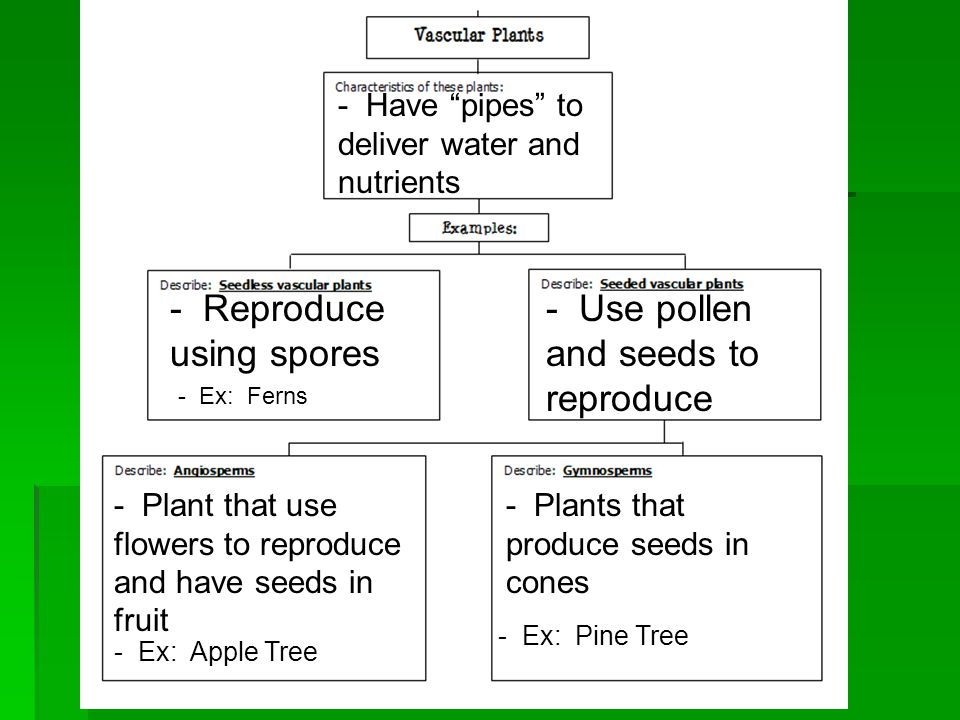 - Have pipes to deliver water and nutrients - Reproduce using spores - Use pollen and seeds to reproduce - Plant that use flowers to reproduce and have seeds in fruit - Ex: Apple Tree - Plants that produce seeds in cones - Ex: Pine Tree - Ex: Ferns