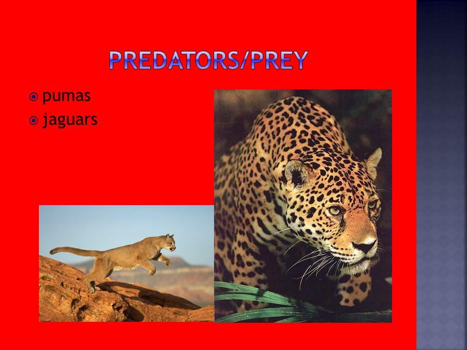  pumas  jaguars